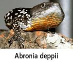 Abronia deppii