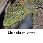 Abronia mixteca