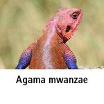 Agama mwanzae