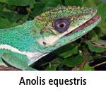 Anolis equestris