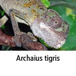 Archaius tigris