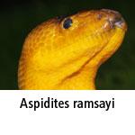Aspidites ramsayi