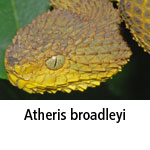 Atheris broadleyi