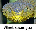Atheris squamigera