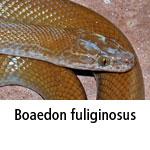 Boaedon fuliginosus