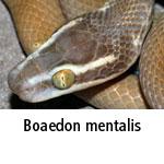 Boaedon mentalis