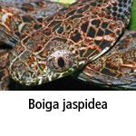 Boiga jaspidea