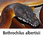 Bothrochilus albertisii
