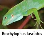 Brachylophus fasciatus
