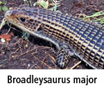 Broadleysaurus major