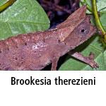 Brookesia therezieni