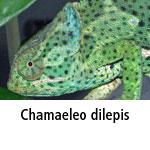 Chamaeleo dilepis