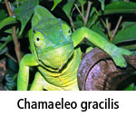 Chamaeleo gracilis