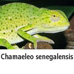 Chamaeleo senegalensis