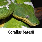 Corallus batesii
