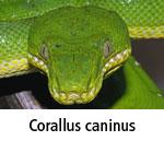 Corallus caninus