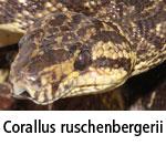Corallus ruschenbergeri