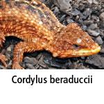 Cordylus beraduccii
