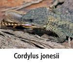 Cordylus jonesii