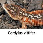 Cordylus vittifer