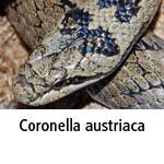 Coronella austriaca
