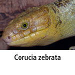 Corucia zebrata