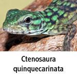 Ctenosaura quinquecarinata