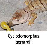 Cyclodomorphus gerrardii