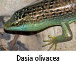 Dasia olivacea