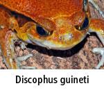 Discophus guineti