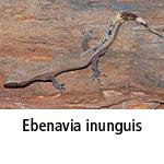 Ebenavia inunguis
