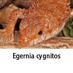 Egernia cygnitos