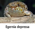 Egernia depressa