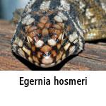 Egernia hosmeri