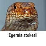 Egernia stokesii