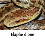 Elaphe dione