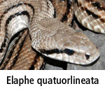 Elaphe quatuorlineata