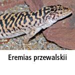 Eremias przewalksii