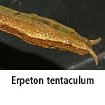 Erpeton tentaculum