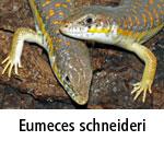 Eumeces schneideri