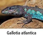 Gallotia atlantica