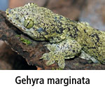 Gehyra marginata