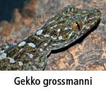 Gekko grossmanni