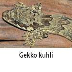 Gekko kuhli