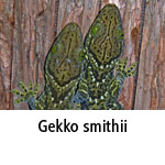Gekko smithii
