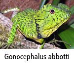 Gonocephalus abbotti