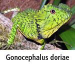 Gonocephalus doriae