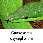 Gonyosoma oxycephalum