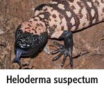 Heloderma suspectum