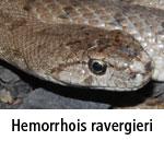 Hemorrhois ravergierei